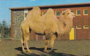 Bactria's White Camel, Granby Zoological Garden, Quebec, Canada, 40-60s