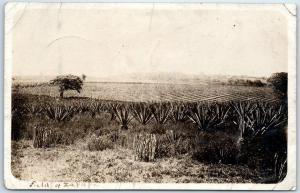 Vintage RPPC Real Photo Postcard FARM SCENE Field of Zapape c1910s