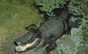 Alligator , Florida , 50-60s #3