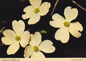 Dogwood Blossoms Georgia