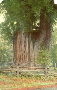 10074 The Grandaddy Tree, Redwood Highway, Garberville, California