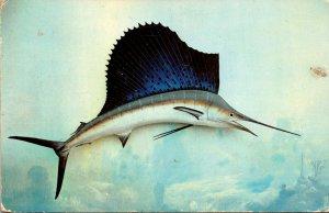 Florida Sport Fish The Sailfish