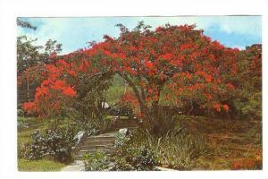 US Virgin Islands, W.I., 40-60s ; Flamboyant in full bloom