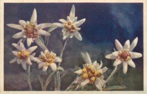 Postcard edelweiss wild flowers