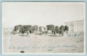 Ingalls Kansas~AN Neufeld Cattle Herd~Mrs by the Cows~Farm Barn~c1918 RPPC