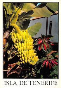 Spain Isla de Tenerife Planta de Platanos y Flor de Pascua Bananas