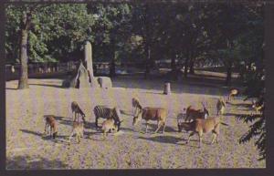 African Veld,Detroit Zoo,Royal Oak,MI Postcard