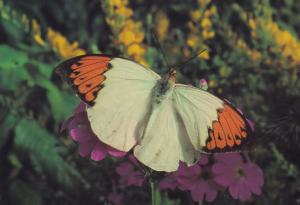 Great Orange Tip Fairbourne Welsh Butterfly Zoo Safari Park Postcard