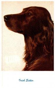 Dog  , Irish Setter