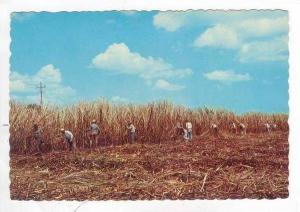 Cutting Sugar Cane In Puerto Rico,1940-1960s