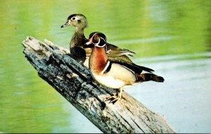 Birds Wood Duck