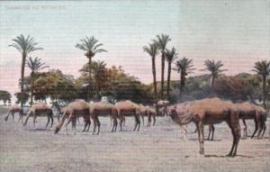 Camels Grazing Chameaus Au Paturage