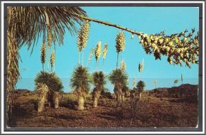 United States - Desert Yucca or Spanish Bayonet - [MX-347]