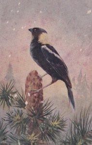 BOB-O-LINK bird perched, snowfall, 900-10s