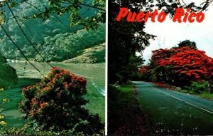 Puerto Rico Road Scene and Tulips In Lago Dos Bocas 1974