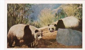 Illinois Chicago Giant Panda Chicago Natural History Museum