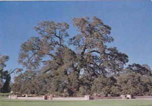 Sir Joseph Hooker Oak Tree Bidwell Park Chico California