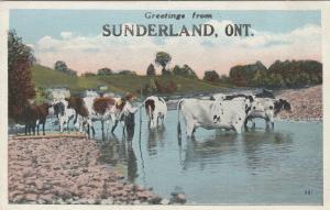 SUNDERLAND , Ontario , 1910s ; Cows in water