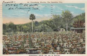 ST PETERSBURG , Florida, PU-1929 ; Strawberry Patch, Set out in Barrels