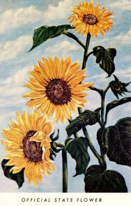 KS - Kansas State Flower