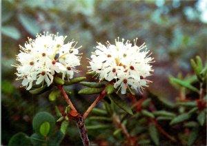 Qajaasaq Flower Greenland Postcard unused 1990 (9929)
