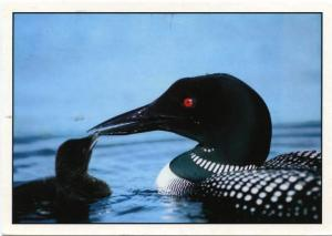 The Common Loon with a Chick - Bird - pm Portland Maine 1989