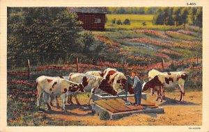 Cow Post Card Feeding Unused
