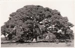 Africa Ethiopia flora Eritrea sicomoro sycamore tree ( Ficus vasta ) real photo