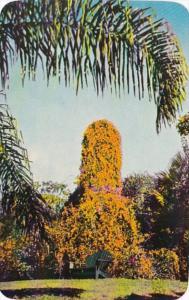 Florida Sarasota Jungle Gardens Flame Vine In Bloom