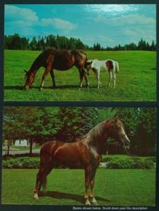 Vermont Morgan Stallion; Horse and foal