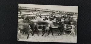 Herd of Elk by Fence Vintage RPPC Real Photo Postcard