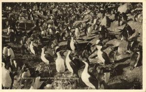 Falkland Islands, Mixed Rookery of Shags and Rock Hopper Penguins (1930s)