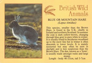 Lot148  animal uk blue or mountin hare rabbit british wild animals