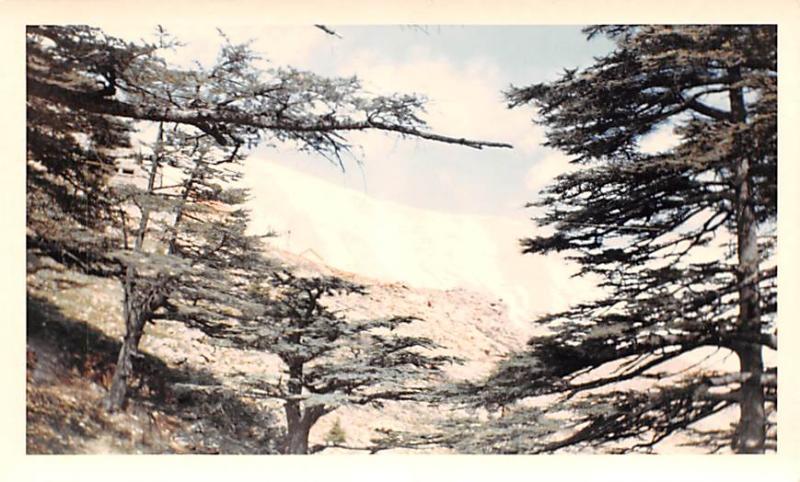 Cedars, Lebanon Postcard, Carte Postale Only 40 trees exist, potected as Nati...
