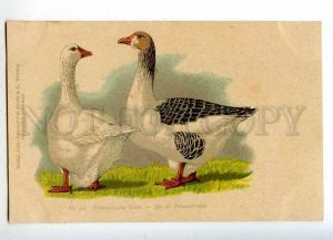 215346 Pomeranian goose BREED Vintage Color postcard