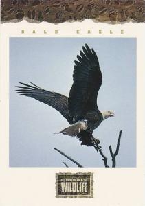Wyoming Wildlife American Bald Eagle