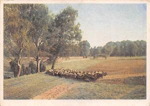 Heidschnucken wandern in der Heide Sheeps