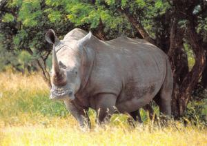 South Africa White Rhinoceros Square lipped White Rhino Witrenoster