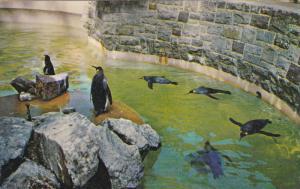 Penguins , Stanley Park , VANCOUVER , B.C., Canada , 50-60s Version-2