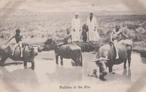 Buffalos In The Nile Egyptian Antique  Postcard