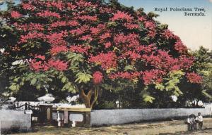 Bermuda Royal Poiciana Tree 1933
