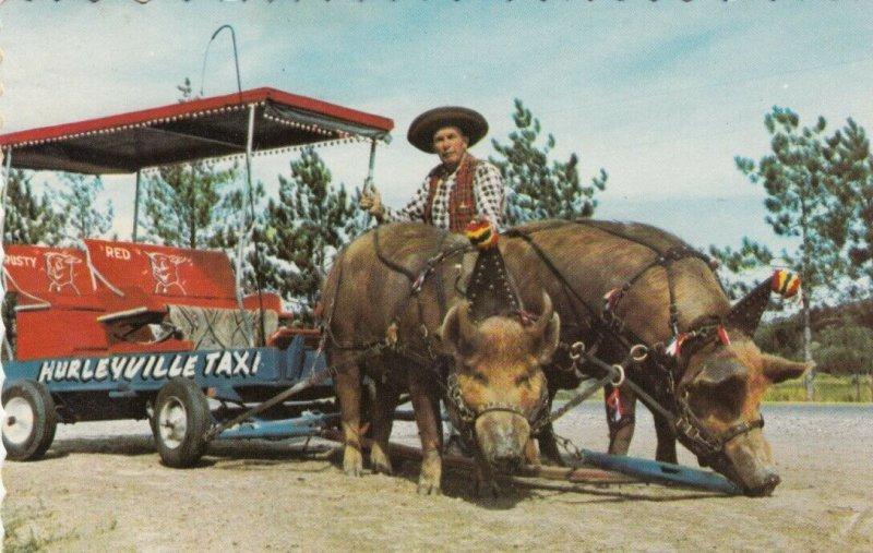ECHO BAY , Ontario, Canada, 1968 ; Trained Hogs