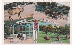 Sacred Cows Buffaloes Elk & Water Buffaloes Zoological Gardens Cincinnati...