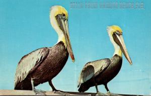 Florida Ormond Beach Hello With Pelicans 1968