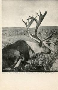 Caribou Down and Out  The Last of a Fine Specimen