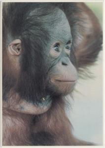 ORANGUTAN, Racine Zoological Park, Wisconsin, unused Postcard