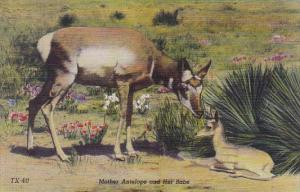Mother Antelope And Her Babe Antelopes Are Plentiful In The Land Of Sunshine ...