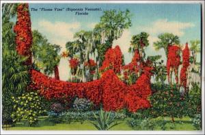 Flame Vine, Florida