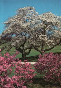 Vintage Postcard Cherry Trees and Azaleas Winterthur Gardens Delaware