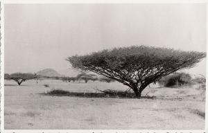 Real photo postcard Africa Ethiopia flora Eritrea Acacia spinosa tree